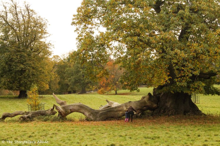 400 year old sweet chestnut tree