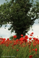 poppys with tree small