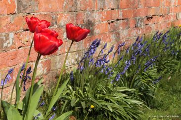 tulips by wall small