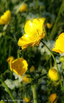 buttercup small