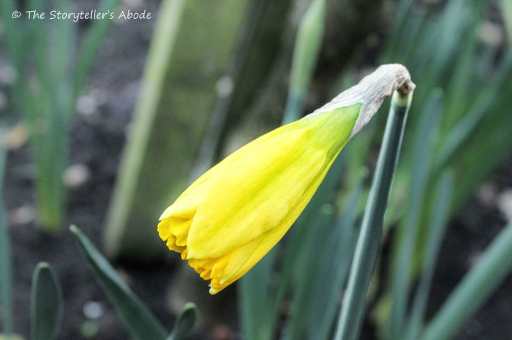 January Daffodil