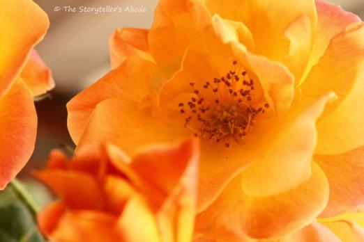 orange roses small