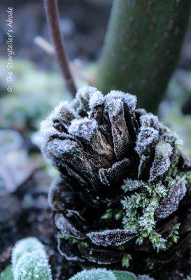 Frosty pine cone