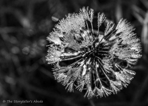 frosty dandelion small