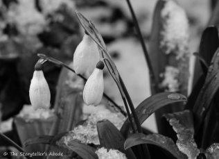 snowdrops in snow small