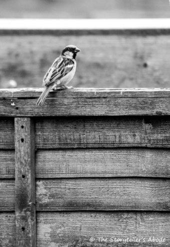Sparrow fledgling