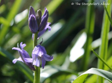 bluebell small