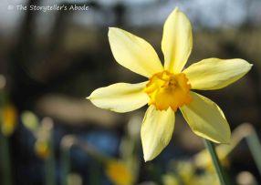 daffodil 2 small