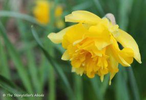 daffodil 3 small
