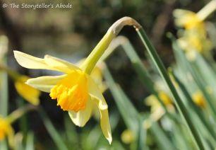 daffodil small