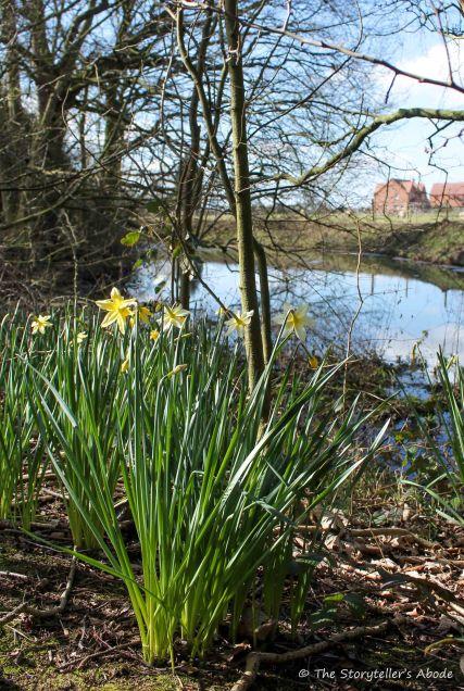 daffodils on streambank 2 small