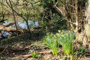 daffodils on streambank 4 small