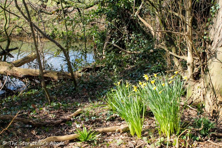 daffodils on streambank 4 small