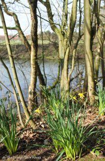 daffodils on streambank small
