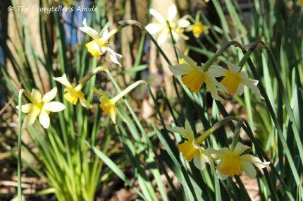 daffodils small