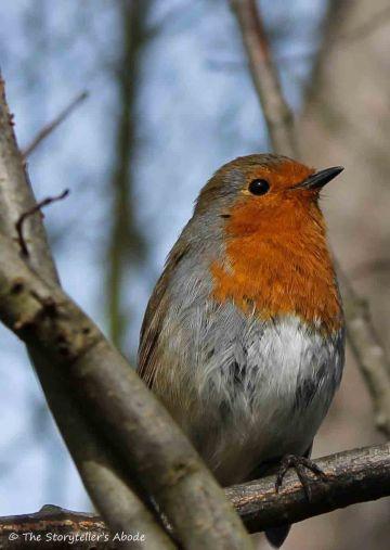 robin 2 small