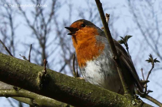 robin 6 small