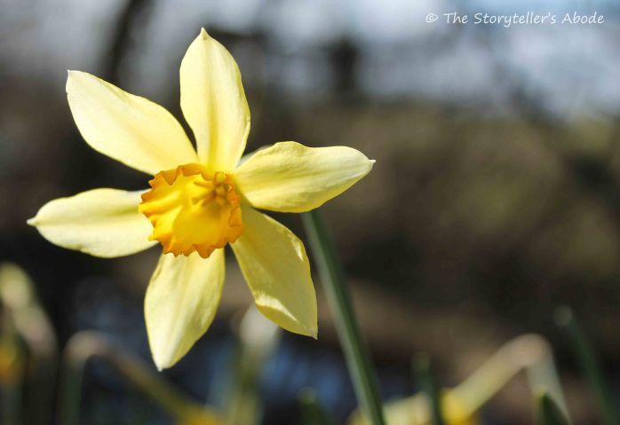 Sunburst Daffodil small