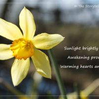 Sunburst Daffodil
