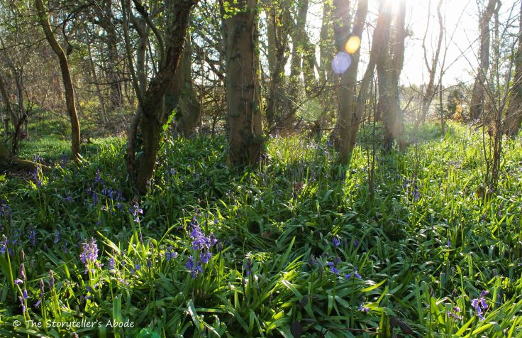 Sunlit Bluebells small