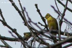 yellow bird small