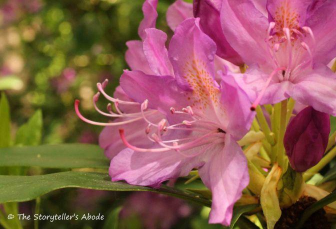 112 rhododendron flower