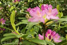 113 rhododendron flowers