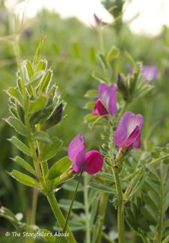 28 purple vetch