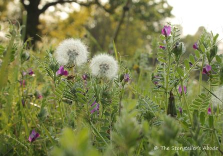 29 Dandelions and Vetch