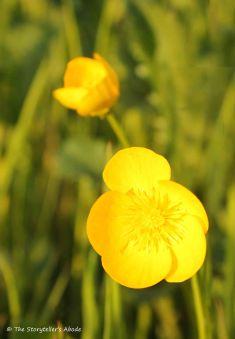 34 buttercups
