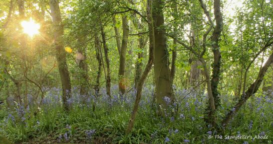 43 sunburst over fading bluebells 2
