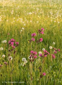 52 red campion and dandelion clocks