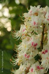 54 horse chestnut blossom