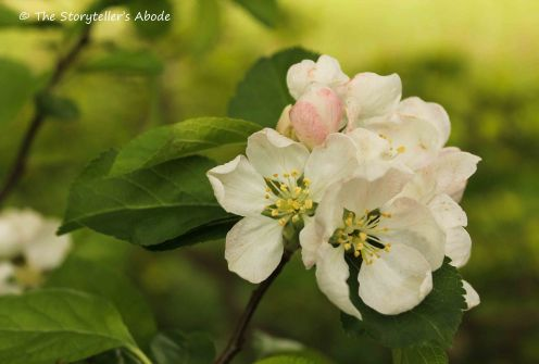 84 apple blossom