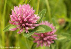 88 pink clover