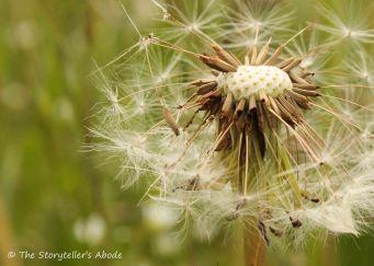 94 windblown dandelion