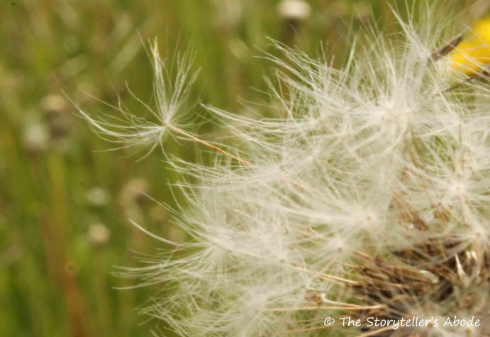 96 dandelion seed taking flight