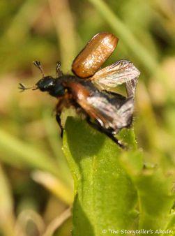 99 beetle taking flight