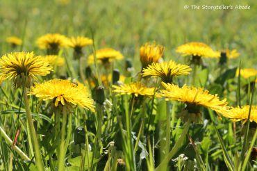 dandelions 3