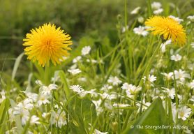 dandelions with white flowers