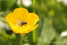 fly on buttercup