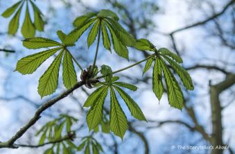 horse chestnut leaves 2