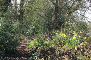 path with daffodils