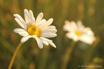 dawn-lit daisies