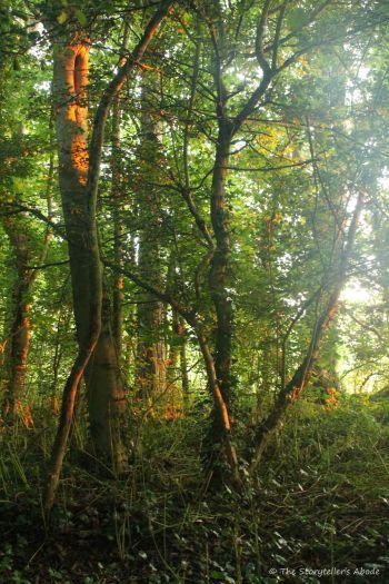 dawn lit wooded walk