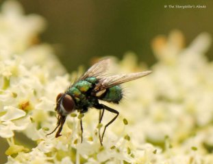 fly on cow parsley 3
