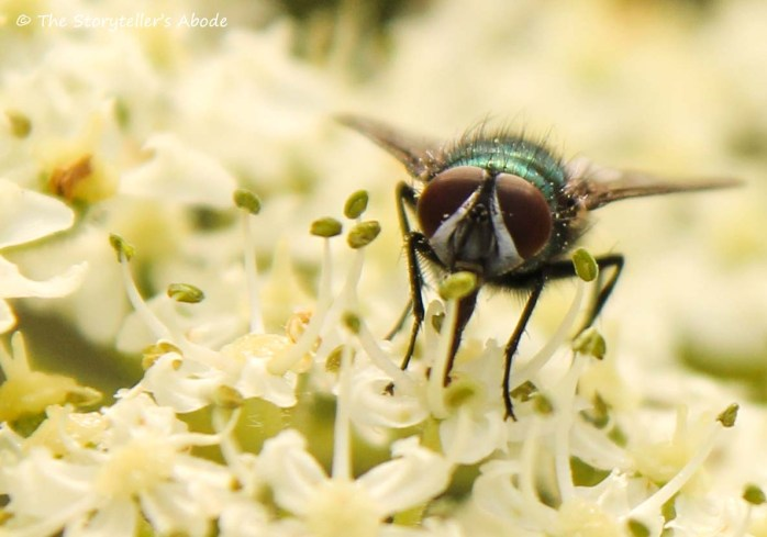 fly on cow parsley 4