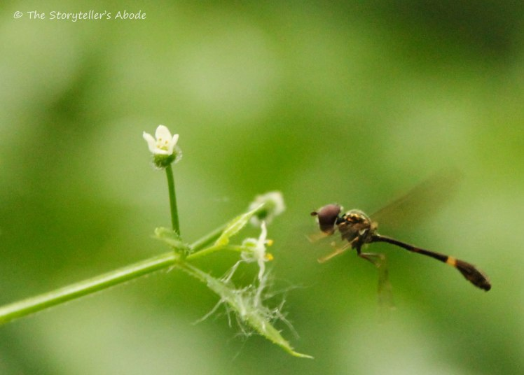 long tailed insect
