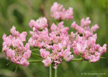 pink cow parsley