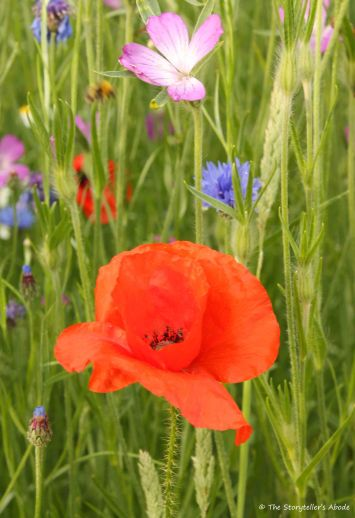 poppy among other flowers